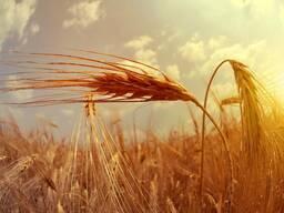 """Ячмень яровой, пшеница яровая (репродукция элита"""""""