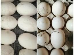Яйцо утиное/куриное для инкубации