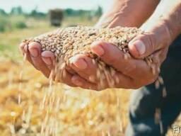 Закупаем фуражное зерно. Работаем быстро!Платим сразу!