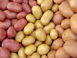 Закупаем картофель