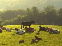 Закупаем коров, быков, лошадей . Дорого.
