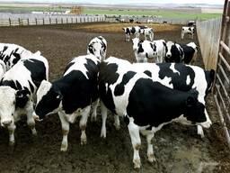 Закупаем КРС коров, быков, лошадей оптом