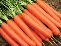 Закупаем морковь