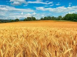Продам пшеницу фуражную Могилёвская область