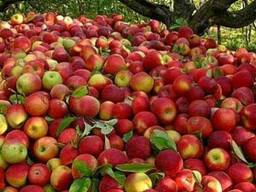 Яблоко на промпереработку