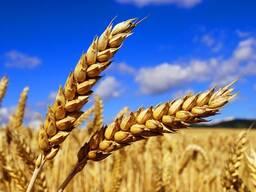 Закупаем зерно фуражное: Любые объёмы.