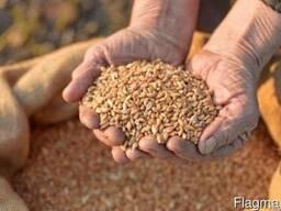 Закупаем зерно фуражное!Оптом!Свои машины!