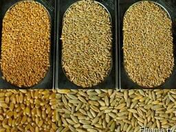 Продаем Зерно Фуражное - Пшеница, Кукуруза, Тритикале и др