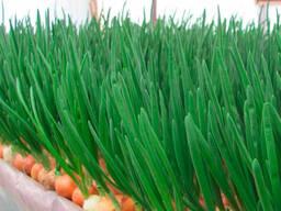 Зеленый лук перо