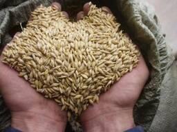 Зерно фуражное, пшеница, тритикале, ячмень, кукуруза, овёс