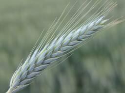 Зерно фуражное (ячмень, тритикале)