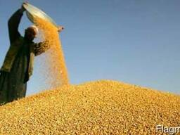 Зерно пшеница, ячмень, тритикале, рожь, кукуруза, рапс
